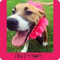 Adopt A Pet :: Fluffy Mort - Fayetteville, NC