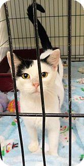 Domestic Shorthair Cat for adoption in Montgomery City, Missouri - Esmeralda