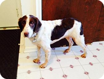 Brittany Dog for adoption in Atlanta, Georgia - FL/Rhya -Adoption Pending