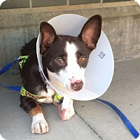 Corgi/Terrier (Unknown Type, Small) Mix Dog for adoption in Seattle, Washington - Sergio