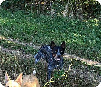 Australian Cattle Dog Dog for adoption in Garden City, New York - Mac