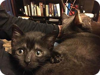 Domestic Shorthair Kitten for adoption in New York, New York - Jiji