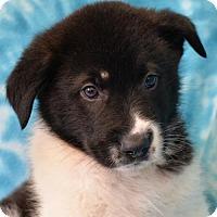 Adopt A Pet :: Simon - Eureka, CA