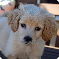 Adopt A Pet :: Juju - Los Angeles, CA