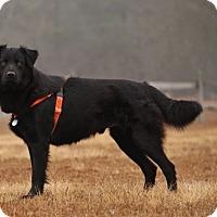 Adopt A Pet :: Licorice - Pinehurst, NC