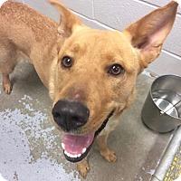 Adopt A Pet :: Ed Sheeran - Jersey City, NJ