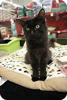Domestic Longhair Cat for adoption in Fountain Hills, Arizona - STARLA