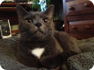 Russian Blue Cat for adoption in Harrisonburg, Virginia - Tate