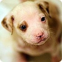 Adopt A Pet :: Mitzi - Sarasota, FL