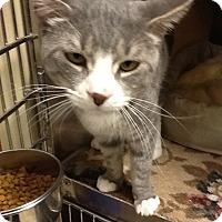 Adopt A Pet :: Amadeus - Colmar, PA