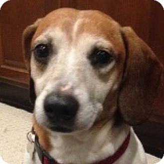 Dachshund/Beagle Mix Dog for adoption in Houston, Texas - Denver Duncan