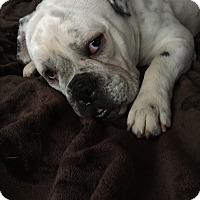 Adopt A Pet :: Uma - New Oxford, PA