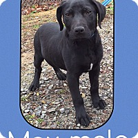Adopt A Pet :: Max (Pom) - Allentown, PA