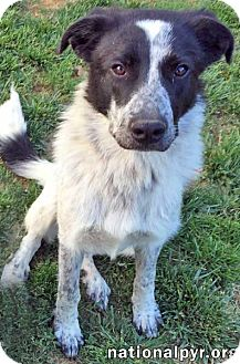 Great Pyrenees Mix Dog for adoption in Beacon, New York - Captain