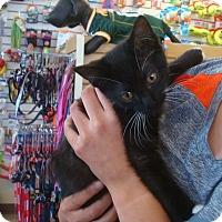 Adopt A Pet :: Mittens - Middleton, WI