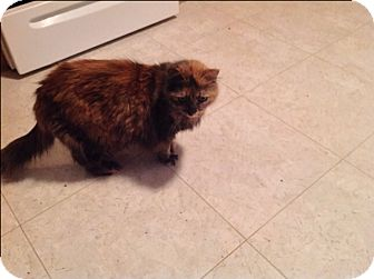 Domestic Mediumhair Cat for adoption in Rochester, New York - Trixie