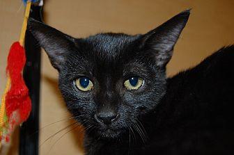 Domestic Shorthair Kitten for adoption in Whittier, California - Sheba
