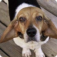 Beagle/Basset Hound Mix Dog for adoption in Wyoming, Michigan - Faith - pending on 0 day trial