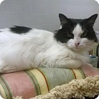 Norwegian Forest Cat Cat for adoption in Asheville, North Carolina - Missy