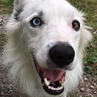Border Collie Dog for adoption in Minerva, Ohio - Buddy
