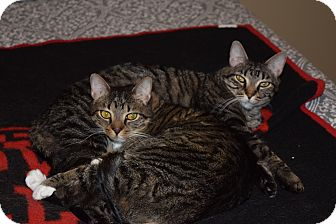 Domestic Shorthair Cat for adoption in Houston, Texas - Gilly & Leon - declawed