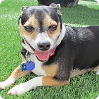 Corgi/Beagle Mix Dog for adoption in House Springs, Missouri - Dexter Finn