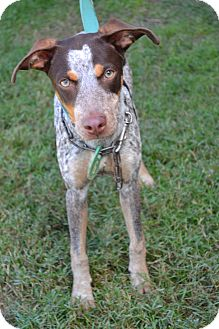 Pointer Mix Dog for adoption in Beaumont, Texas - Cherry