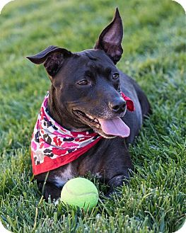 Dachshund/Labrador Retriever Mix Dog for adoption in Sedona, Arizona - Bubbles