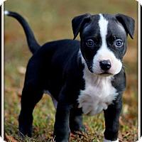 Adopt A Pet :: Bruno - Dixon, KY