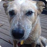 Australian Cattle Dog Dog for adoption in Seattle, Washington - Bullwinkle -Energetic Red Heeler
