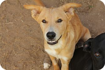 Australian Shepherd/Labrador Retriever Mix Puppy for adoption in Denver, Colorado - A - RANGER