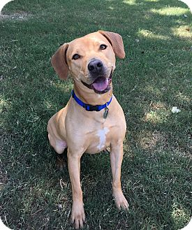 Labrador Retriever Mix Dog for adoption in East Dover, Vermont - Sadie - REDUCED FEE
