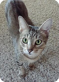 Domestic Shorthair Cat for adoption in Flower Mound, Texas - Wisteria