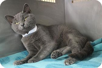 Russian Blue Cat for adoption in Morehead, Kentucky - #039 Anastasia YOUNG FEMALE - EUTH ALERT!