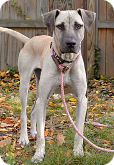 Great Dane/Black Mouth Cur Mix Dog for adoption in Bedminster, New Jersey - Gus