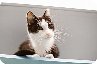 Domestic Shorthair Cat for adoption in Indianapolis, Indiana - Obi Wan