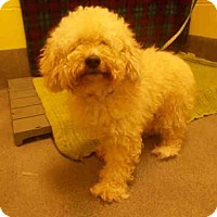 Poodle (Miniature) Dog for adoption in Upper Marlboro, Maryland - POOCH
