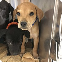 Adopt A Pet :: Ash - pending - Manchester, NH