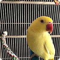 Adopt A Pet :: Rosebud - Shawnee Mission, KS