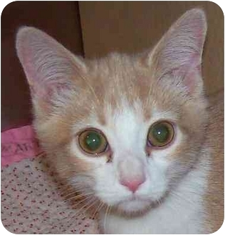 Domestic Shorthair Kitten for adoption in Annapolis, Maryland - Dreamsicle