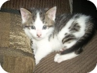 Domestic Shorthair Kitten for adoption in Horsham, Pennsylvania - Cody