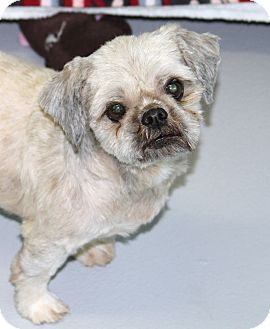 Shih Tzu Mix Dog for adoption in Muskegon, Michigan - Patrick