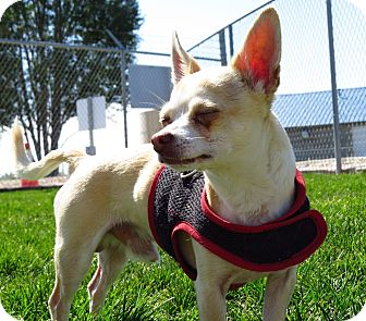 Chihuahua Mix Dog for adoption in Meridian, Idaho - Goliath