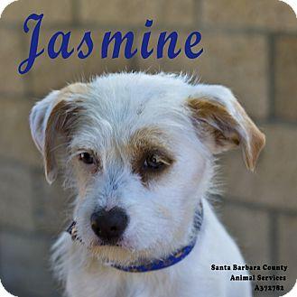 Jack Russell Terrier Mix Dog for adoption in Santa Maria, California - Jasmine