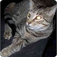 Adopt A Pet :: Tony Tiger - Delmont, PA