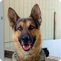 Adopt A Pet :: Belle - Van Nuys, CA