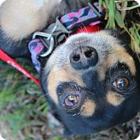 Adopt A Pet :: Bella - Waldorf, MD