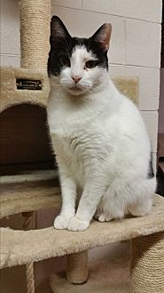 Domestic Shorthair Cat for adoption in Mt. Airy, North Carolina - Rolo