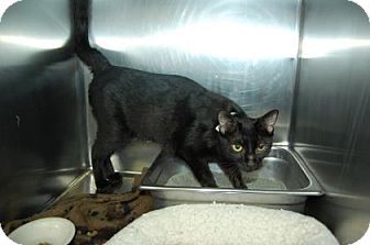 Domestic Shorthair Cat for adoption in Bradenton, Florida - Carol