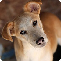 Shepherd (Unknown Type)/Labrador Retriever Mix Dog for adoption in Goldsboro, North Carolina - Coral